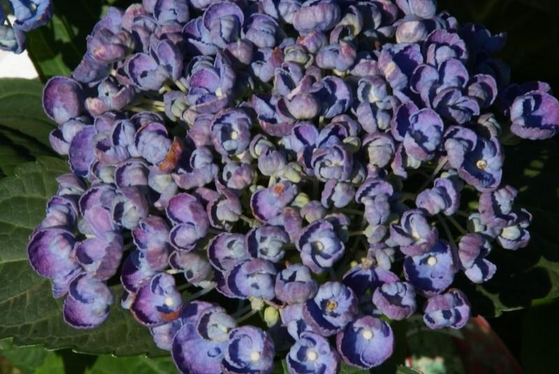 Hydrangea macr. Hovaria Hopcorn ® (H108) c3-4