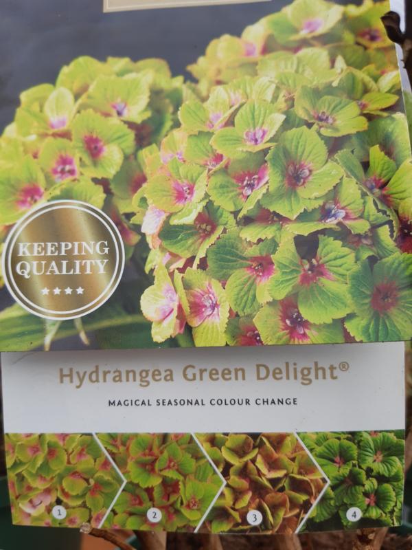 Hydrangea macr. Magical Green Delight c2