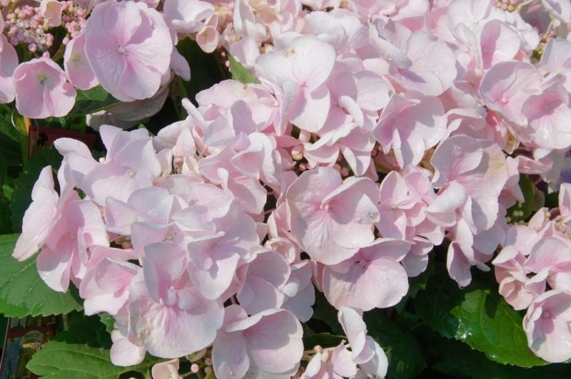 Hydrangea macr. Hovaria Hobella ® (H77)