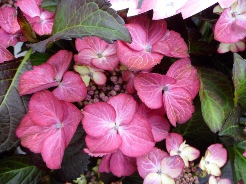Hydrangea macr. Dark angel purple (H158)