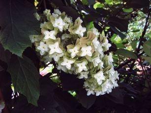 Hydrangea quer. Snowflake (H48)