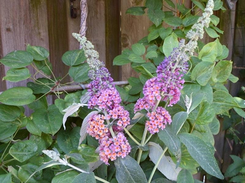 Buddleja weyeriana Flower power