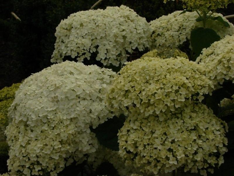 Hydrangea arb. annabelle (H20)