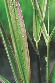 Phalaris Arundinacea 'Picta' / Rietgras / Pot 9x9cm