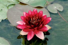Waterlelie rood