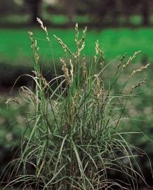 Carex Muskingumensis /  Palmzegge  / Kant en klare mand 18x18cm