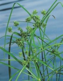 Cyperus Alternifolius / Parapluplant / Pot 9x9cm