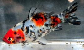 Shubunkin blauw-rood-zwart *Niet op voorraad*