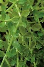 Rotala Rotundifolia Groen / Mand 11x11cm