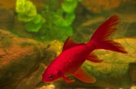 Rode goudvis  *Niet op voorraad*