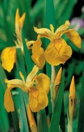 Iris Pseudacorus / Gele Lis / Pot 9x9cm