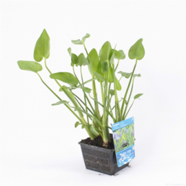 Vijverplant Pontederia