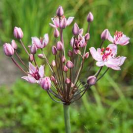 Vijverplant Butomus