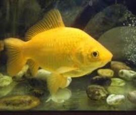Gele goudvis  *Niet op voorraad*