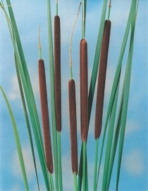 Typha Angustifolia / Kleine Lisdodde / Pot 9x9cm