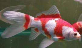 Sarasa rood-wit  11-13cm