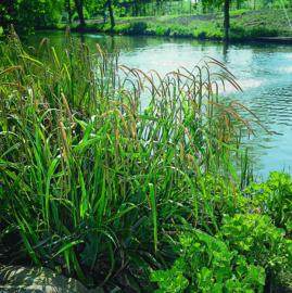 Carex Pendula / Hangende Zegge / Pot 9x9cm