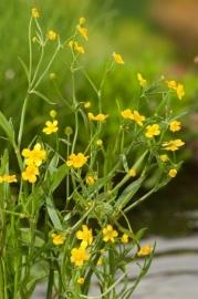Ranunculus Flammula / Egelboterbloem / Pot 9x9