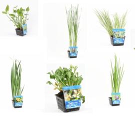 6x Vijverplant  Mix pakket