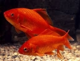 Rode goudvis  18-21cm
