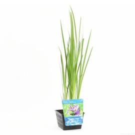 Vijverplant Blauwe Iris