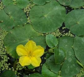 Nymphoides Peltata / Watergentiaan / Mand 11x11cm