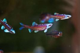Regenboog winde/ Notropis Chrosomus