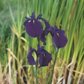 Iris Kaempferi / Japanse Iris / Pot 9x9cm