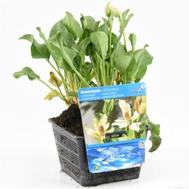 Vijverplant Anemopsis
