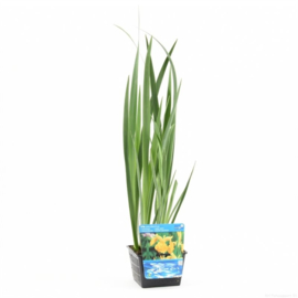 Vijverplant Gele Iris