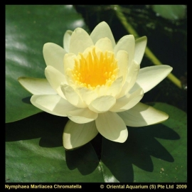 Nymphaea 'Marliacea Chromatella' / Gele Waterlelie / Mand XXL