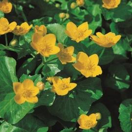 Caltha Palustris / Dotterbloem / Pot 9x9cm