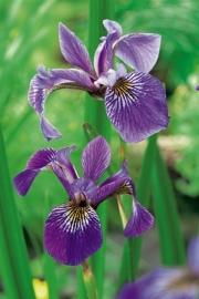 Iris Versicolor / Violenkruid / Kant en klare mand 18x18cm