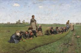 Claus, Vlaswieden in Vlaanderen