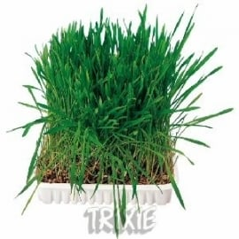 Knaagdier gras (zaad om zelf op te kweken) .