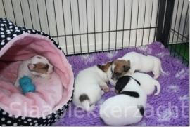 Jack-russel en haar puppies