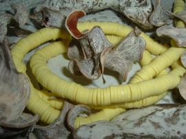 Mooie gele katsuki kralen