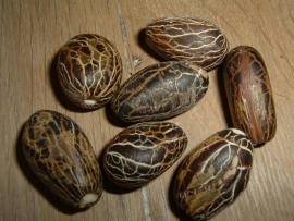 Mooie grote donkerbruine Kili zaden