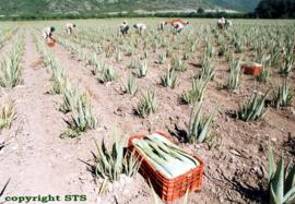 6 flessen Aloe vera Gel - puur - met pulp & vezels