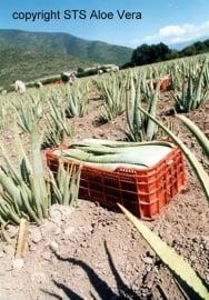 3 + 1 gratis fles Aloe vera Gel - puur - met vezels & pulp