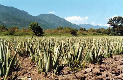 aloe vera velden voor Ecolife Aloë vera producten