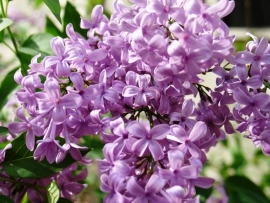 Fragrance oil for CP-soap and Melts - Lilac Blossom - GOC028