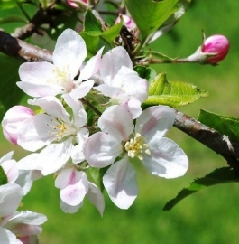 Fragrance oil for cosmetics / soaps / melts - Apple blossom - GOF322