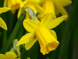 Fragrance oil for CP-soap and Melts - Narcissus - GOC039