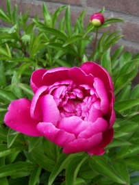 Fragrance oil for candles - Peony - PK038