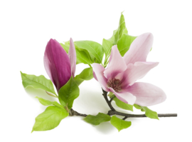 Fragrance oil for cosmetics / soaps / melts - Magnolia - GOF340