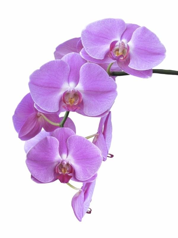 Geurolie voor cosmetica / gietzeep - Orchidee - GOG156