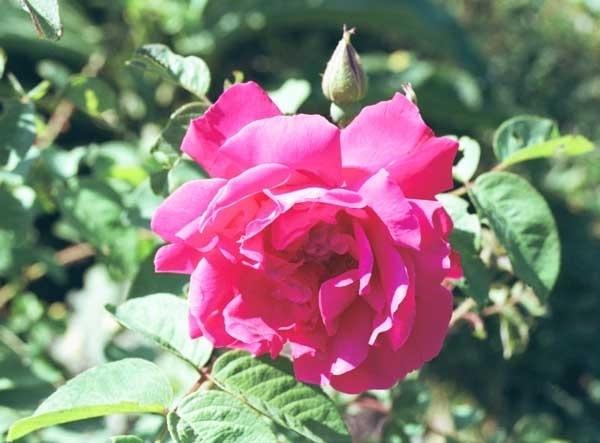 Parfum voor kaarsen - Egyptische Roos - PKF338