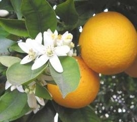 Etherische olie Sinaasappelbloesem (gemengd) - EO019