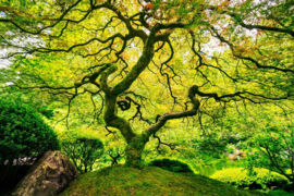 Papermoon Fotobehang Japanese Maple Tree 97037